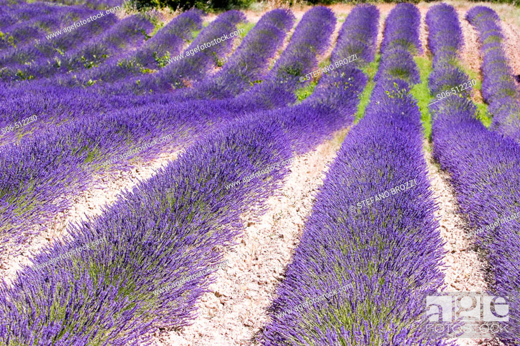 Stock Photo: Lavender field in Provence, France.