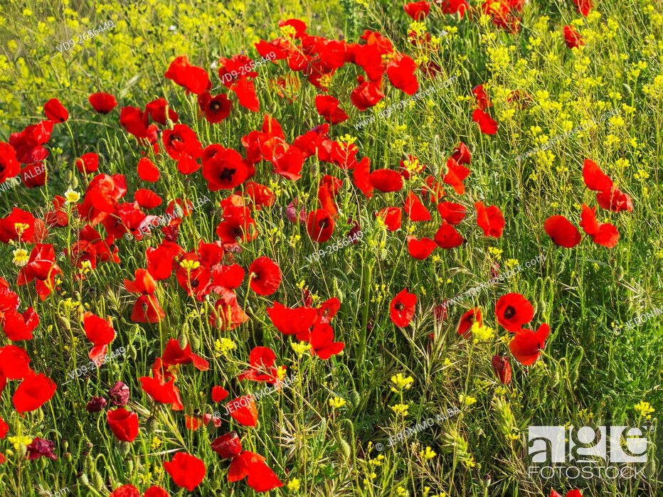 Stock Photo: Field of poppy flowers. Antequera, Malaga province, Andalusia Spain, Europe.