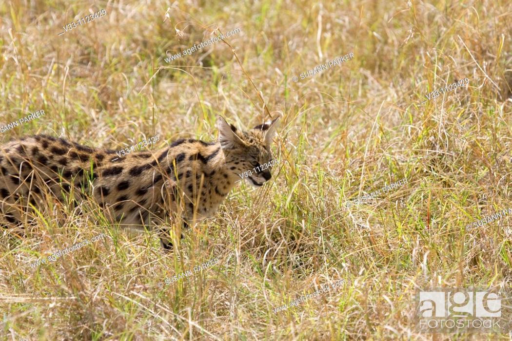 Stock Photo: A serval cat hunts on the savannah of Kenya.