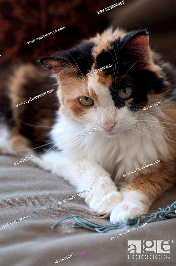 Stock Photo: Stock photo of a calico cat sitting on a couch.