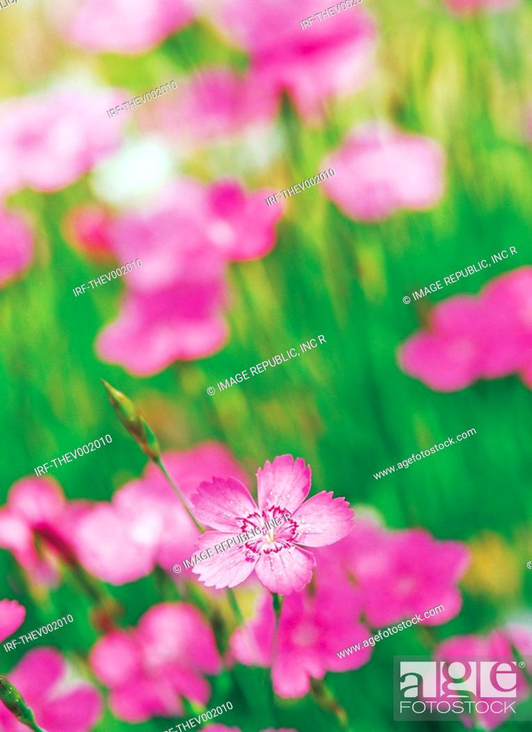 Stock Photo: flower, Sweet William.
