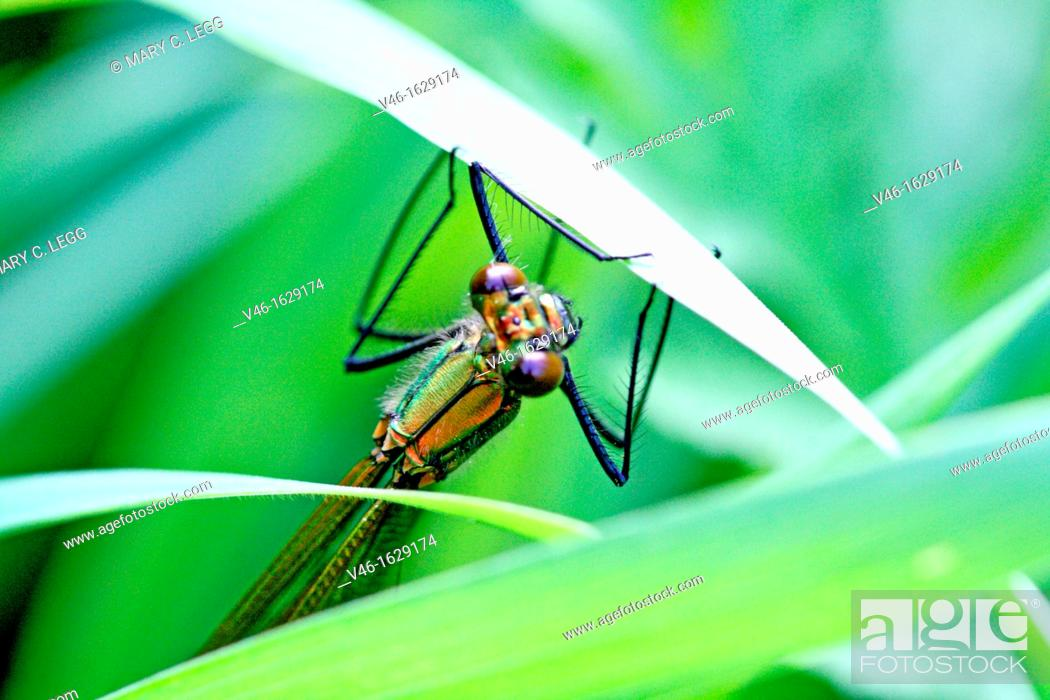 Stock Photo: Banded Demoiselle, Calopteryx splendens  Female hidden in the grass  Female is green and male is metallic blue.