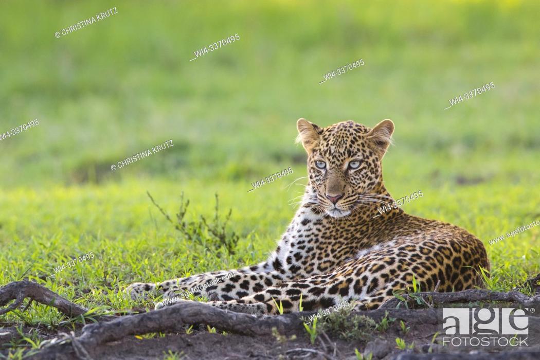 Stock Photo: Leopard (Panthera pardus), Masai Mara National Reserve, Kenya.