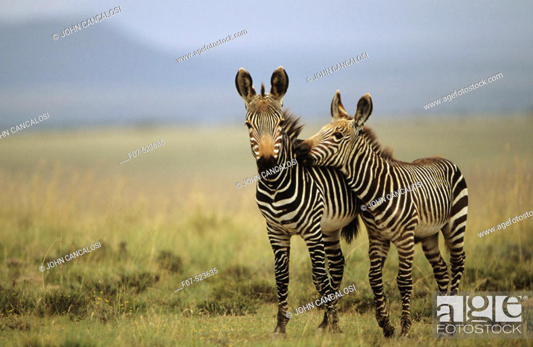 Stock Photo: Mountain Zebras (Equus z. zebra). South Africa. IUCN Endangered. Almost exclusively grazers. Forms harems of several mothers accompanied by their latest.