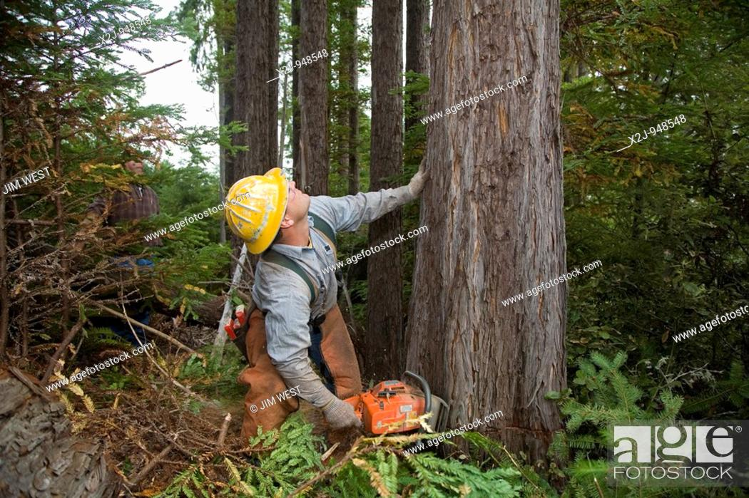 Stock Photo: Fort Bragg, California - Logging of redwoods in northern California  Timber faller Gary Roach cuts a tree with his chainsaw.