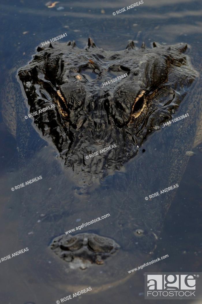 Stock Photo: American Alligator, crocodile, Alligator mississippiensis, close-up, head, USA, America, United States, North America,.