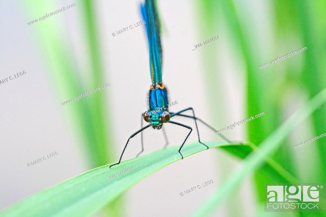 Stock Photo: Banded Demoiselle, Calopteryx splendens  Male  Metallic midnight blue Radlice, Czech Republic.