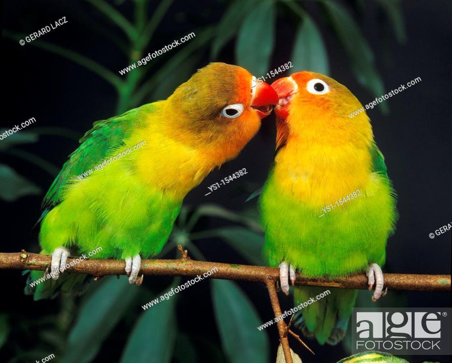 Stock Photo: Fischer's Lovebird, agapornis fischeri, Adults standing on Branch.
