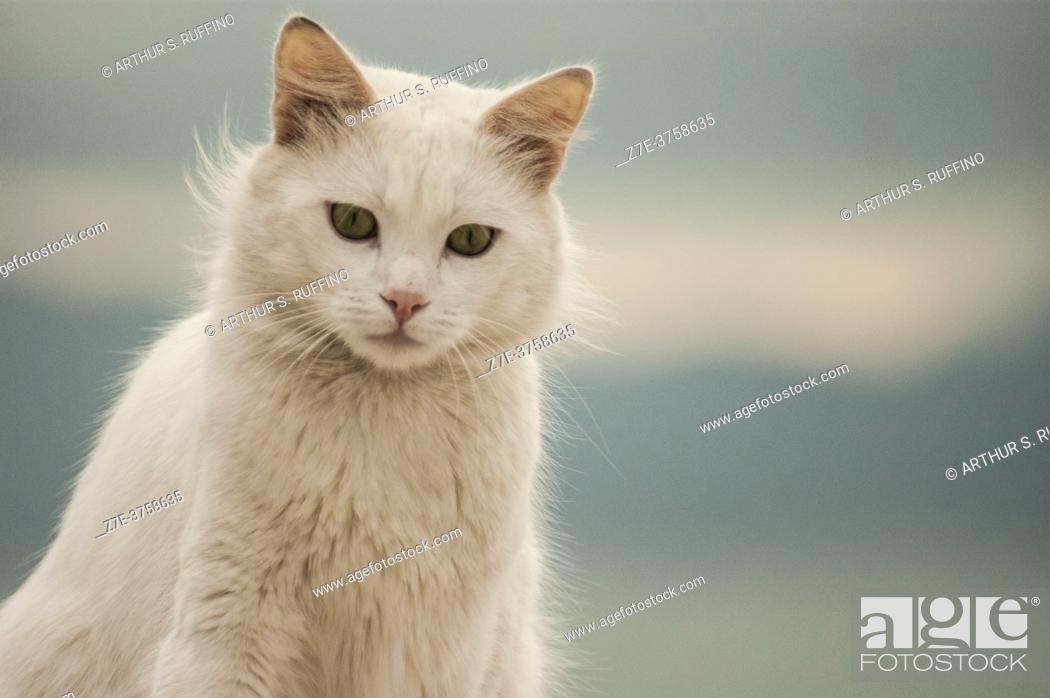Stock Photo: The sentry of Sidi Bou Said. A beautiful white cat perched on a whitewashed wall overlooking the Mediterranean Sea. Sidi Bou Said, Tunisia, Africa.