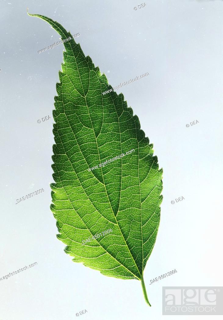 Stock Photo: Hackberry leaf with a caudate apex (Celtis australis), Ulmaceae.