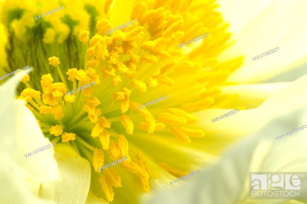 Stock Photo: stempel, abloom, background, Bernhard, bloom, blooms.
