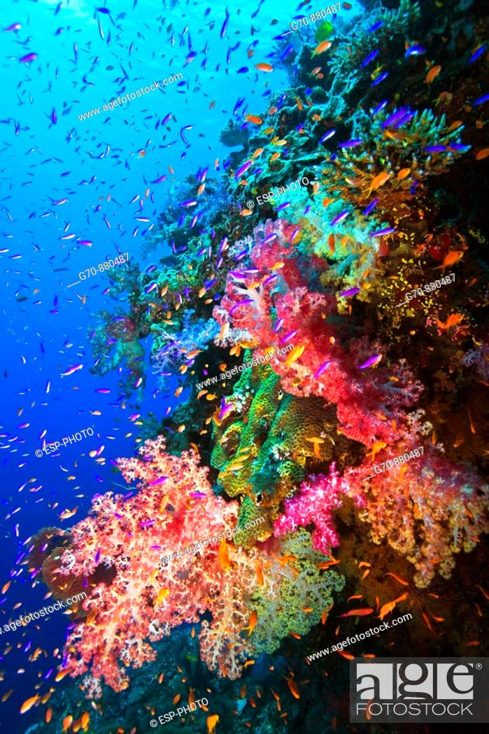 Stock Photo: Colorful soft corals and fish on undersea wall, South Pacific , Fiji.