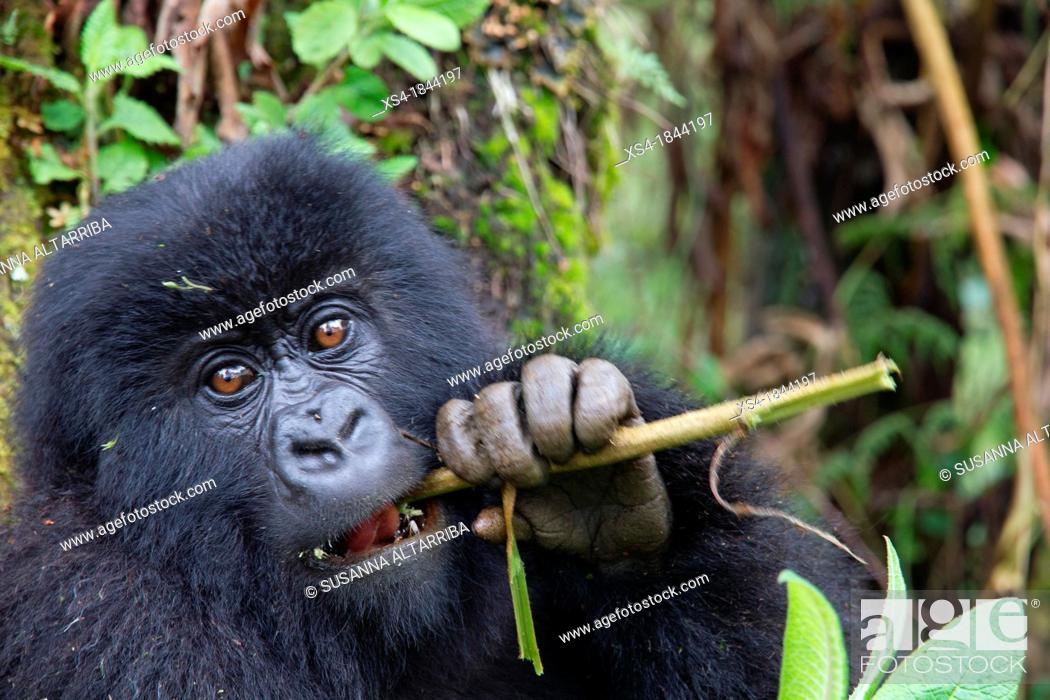 Stock Photo: Mountain gorilla, Gorilla beringei beringei, are one of the most endangered species in the world, scientifics estimate that their are only around 700.