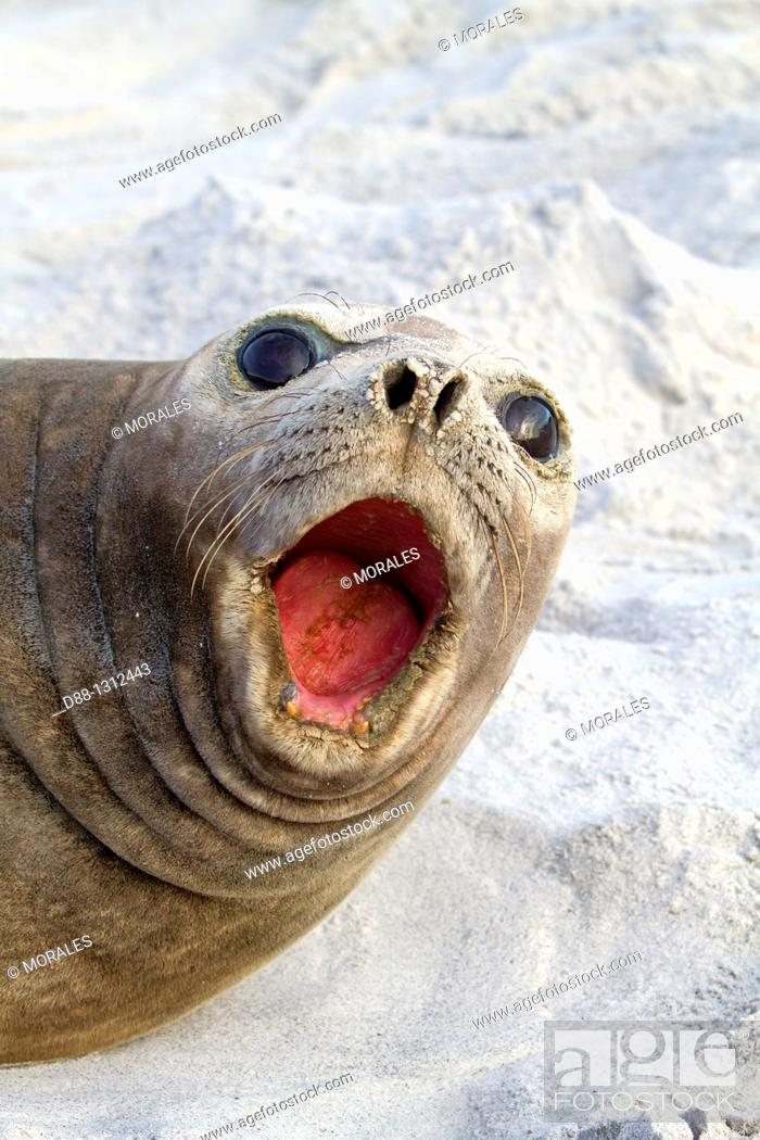 Stock Photo: Falkland Islands , Sea LIon island , Southern Elephant Seal Mirounga leonina.