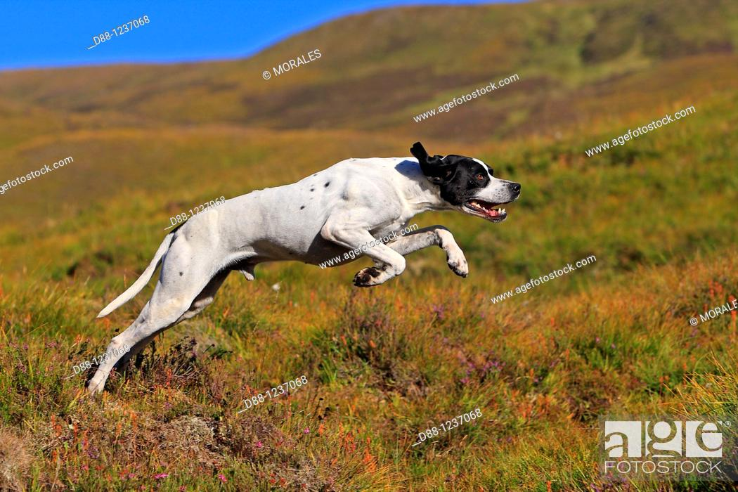 Photo de stock: Pointer  Canis lupus familiaris.