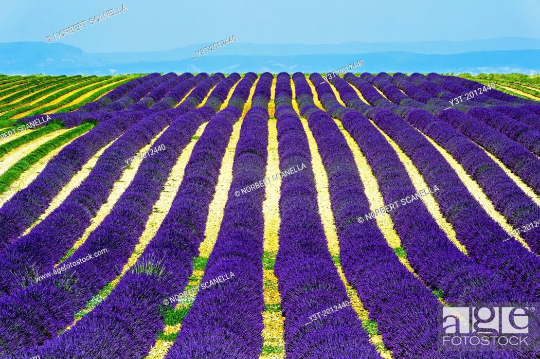Stock Photo: Europe, France, Alpes-de-Haute-Provence, 04, Regional Natural Park of Verdon, Valensole. Field of lavender.