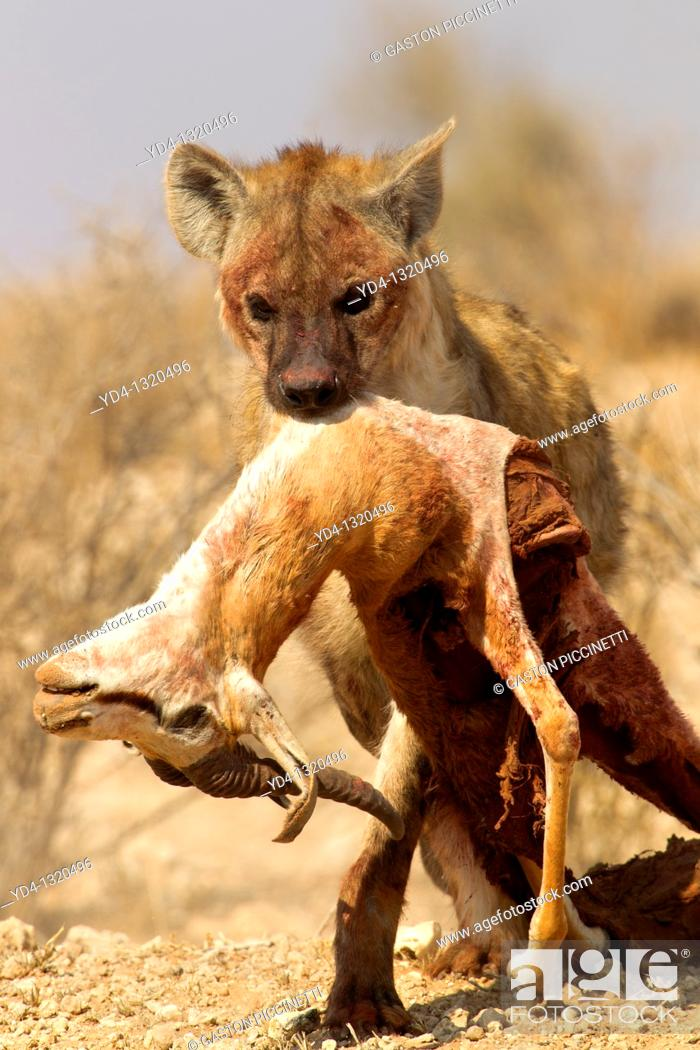 Stock Photo: Spotted hyaena Crocuta crocuta, carrying a body springbok Antidorcas marsupialis, Kgalagadi Transfrontier Park, Kalahari desert, South Africa.