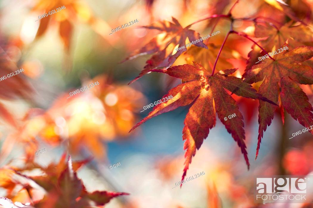 Acer Palmatum Katsura Stock Photo Picture And Rights Managed