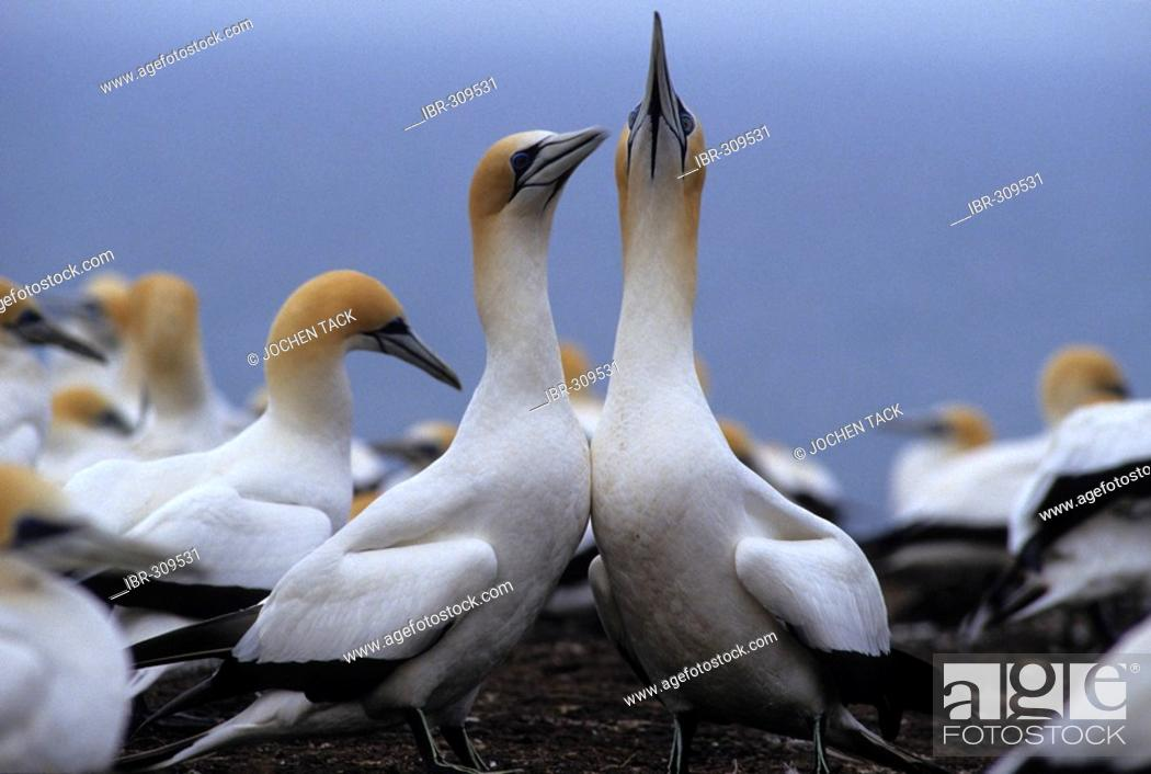 Stock Photo: Northern gannet (Morus bassanus) colony, Cape Kidnappers, North Island, New Zealand.