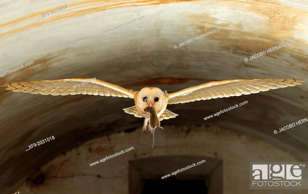 Stock Photo: Bearn Owl(Tyto alba)Badajoz province.Extremadura.Spain.