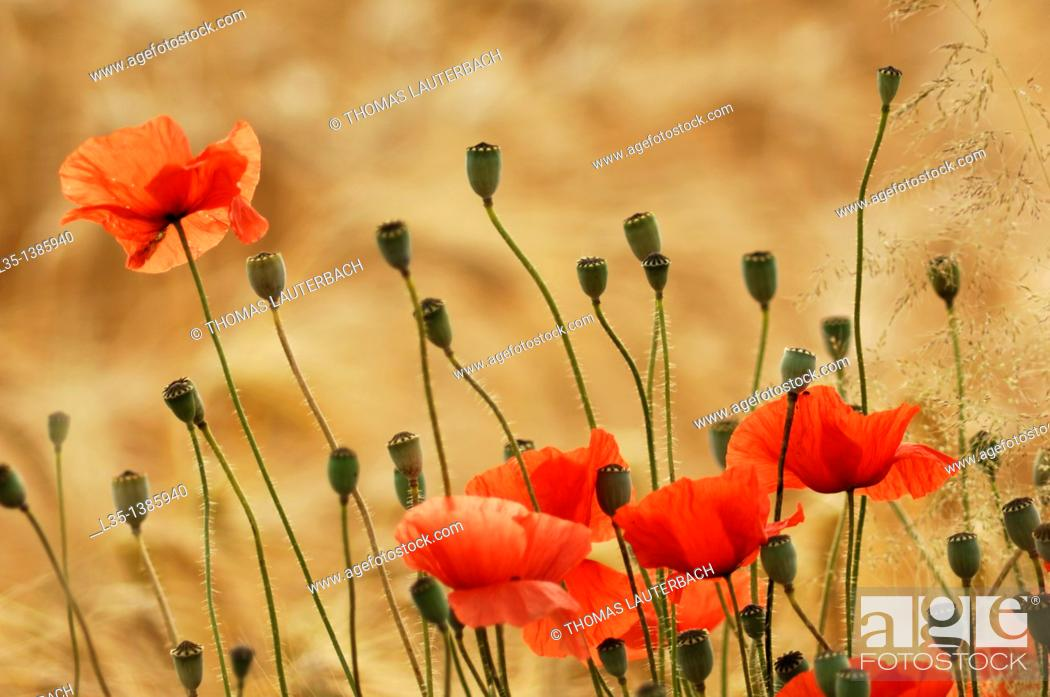 Stock Photo: Poppies in a wheat field.