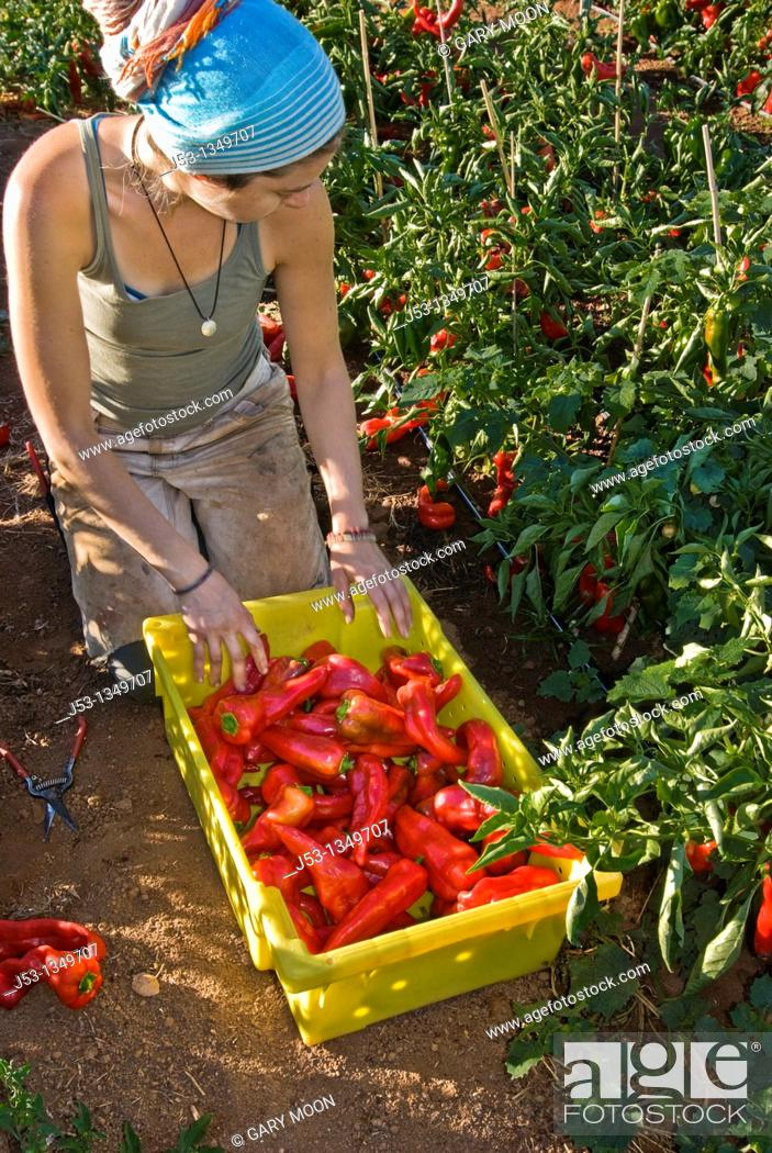 Stock Photo: Young woman picking organic bell peppers on small organic farm, Nevada City, California.