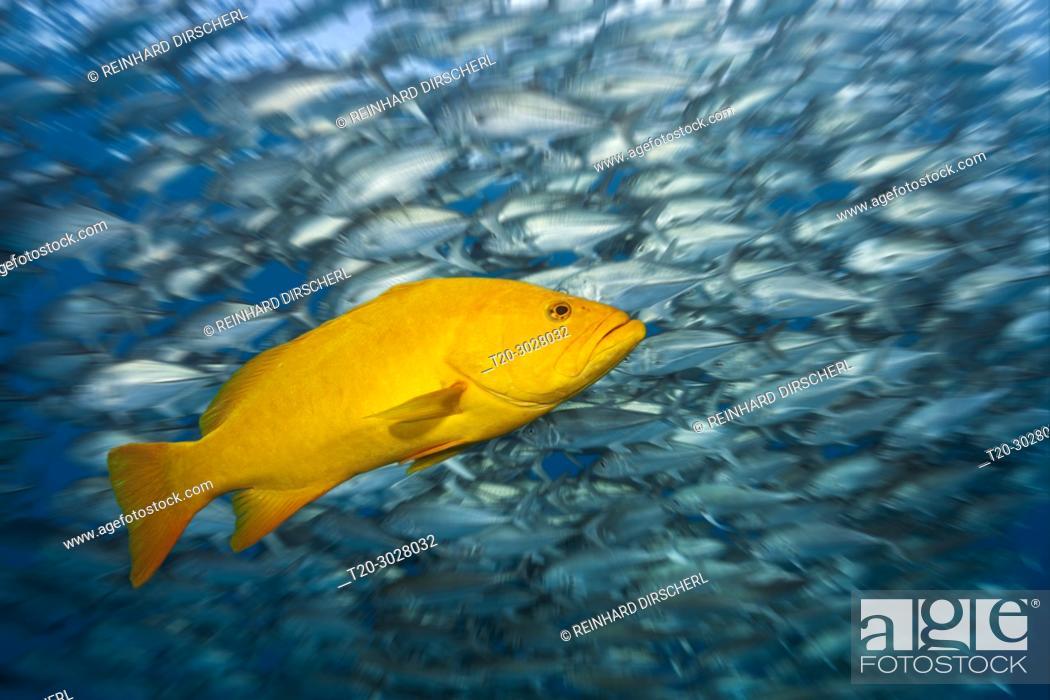 Stock Photo: Gulf Grouper in yellow phase, Mycteroperca jordani, Cabo Pulmo, Baja California Sur, Mexico.