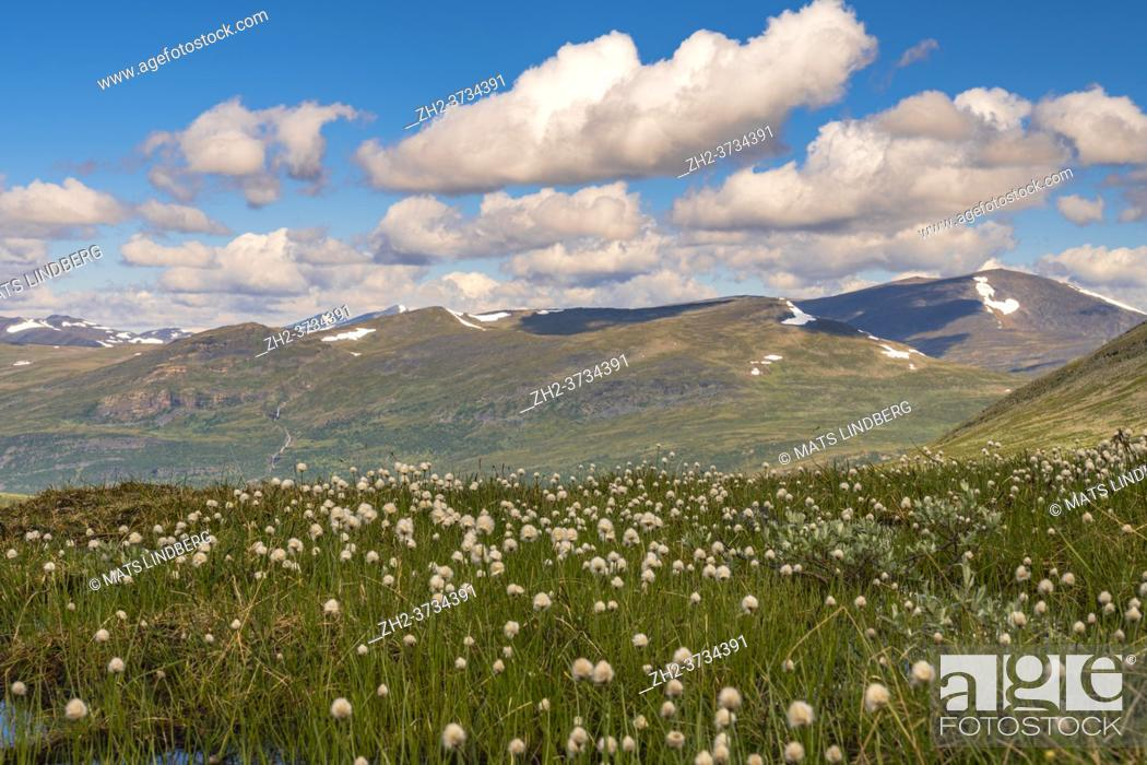 Stock Photo: Cottongrass with mountains in the background along Kingstrail in Stora sjöfallet nationalpark, Swedish Lapland, Sweden.