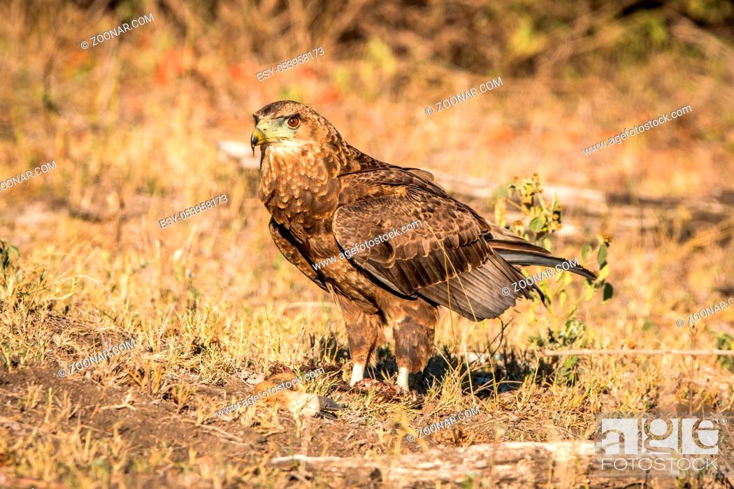 Stock Photo: Juvenile Bateleur standing in the grass in the Kruger National Park, South Africa.