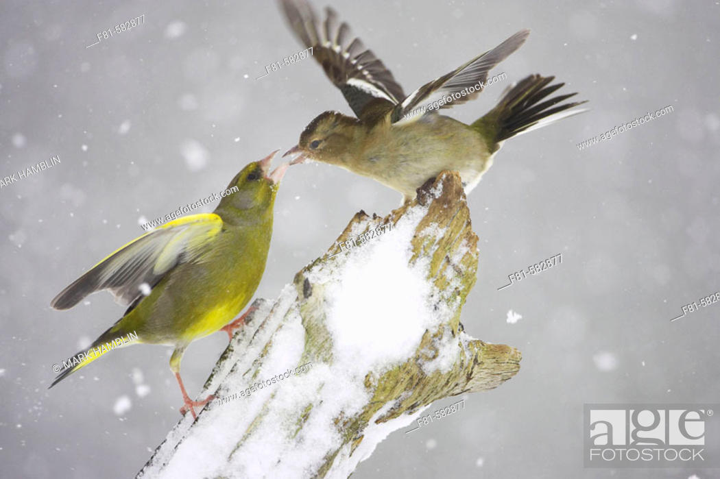 Stock Photo: Greenfinch  (Carduelis chloris) male fighting with Chaffinch (Fringilla coelebs) female in snow. Scotland. February 2006.