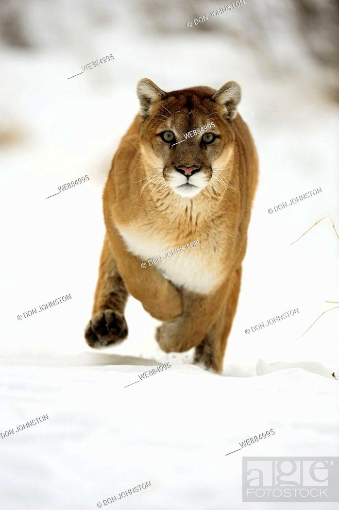 Stock Photo: Cougar, Mountain lion Felis concolor captive in winter habitat.