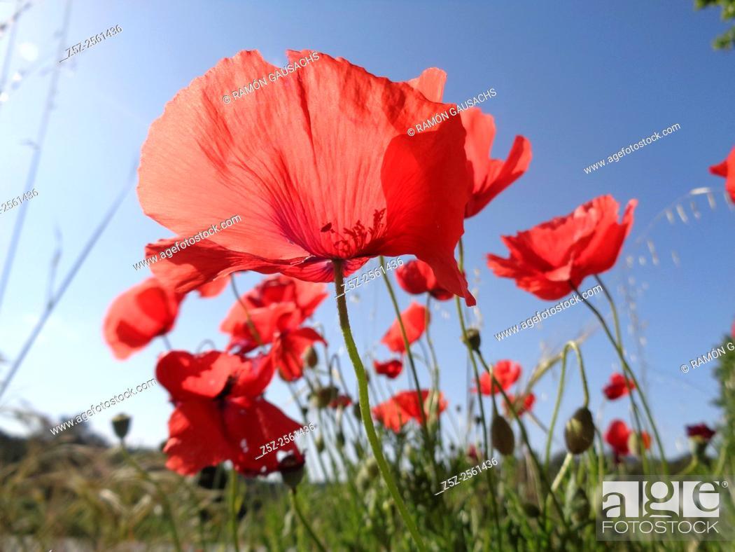 Stock Photo: Field Poppy (Papaver rhoeas).