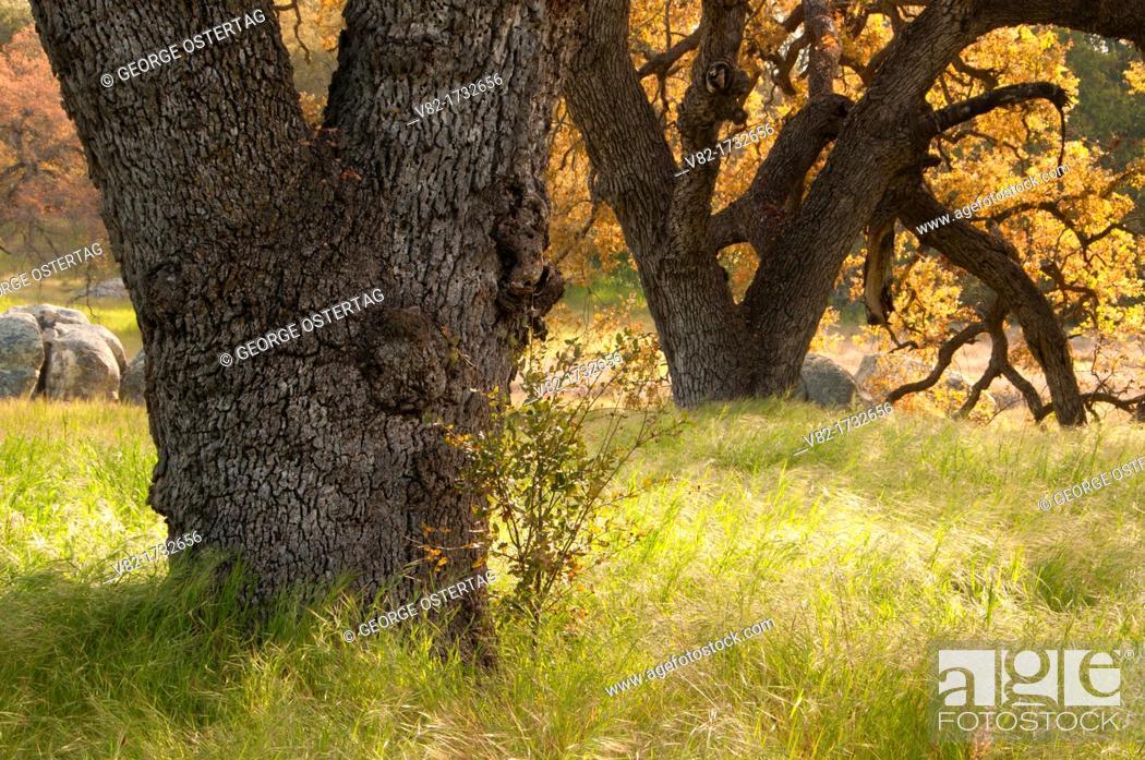 Stock Photo: Oak along Oak Tree Trail, Santa Rosa Plateau Ecological Preserve, California.