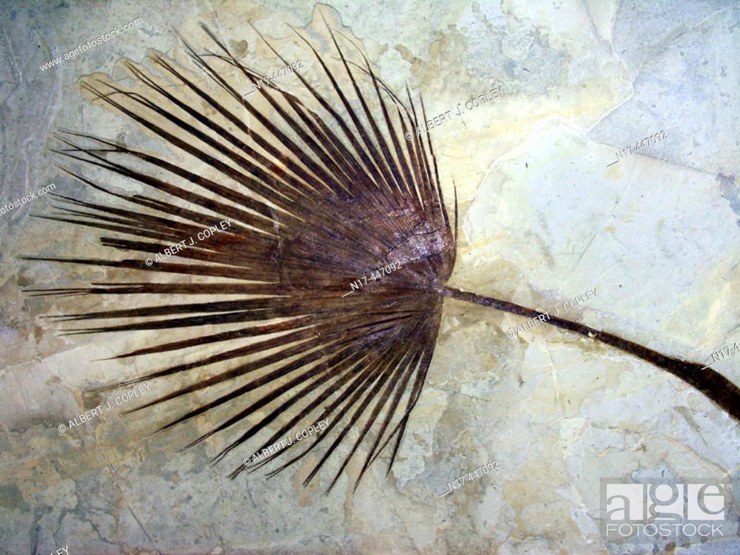 Stock Photo: Fossil fan palm, Green River, Wyoming, Saballites.