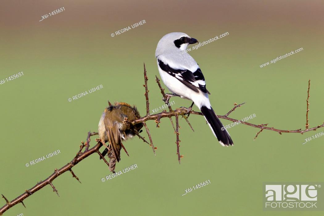 Stock Photo: Great Greay Shrike Lanius excubitor, perched on branch, whith impaled robin, Lower Saxony, Germany.