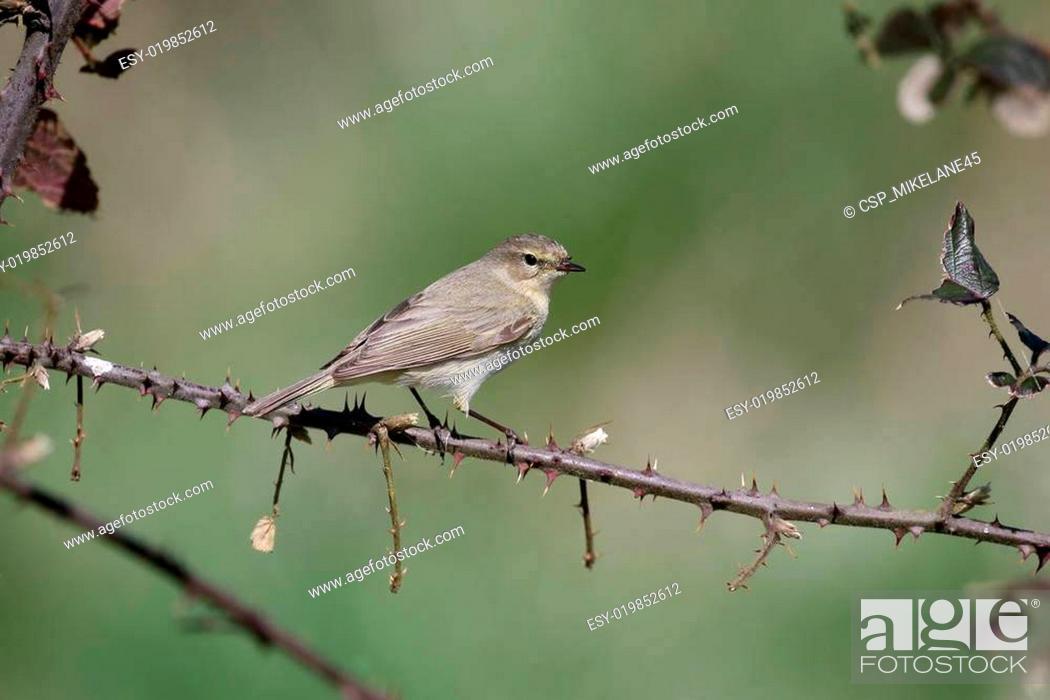 Stock Photo: Chiffchaff, Phylloscopus collybita.