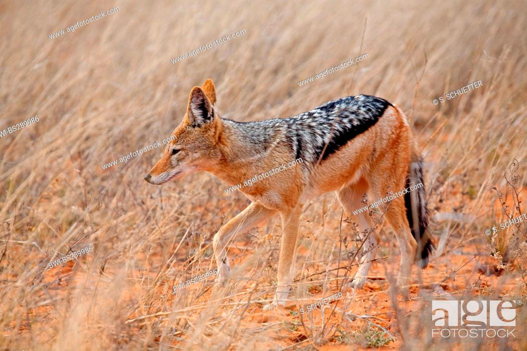 Stock Photo: black-backed jackal (Canis mesomelas), in savannah, South Africa, Northern Cape, Kgalagadi Transfrontier National Park.