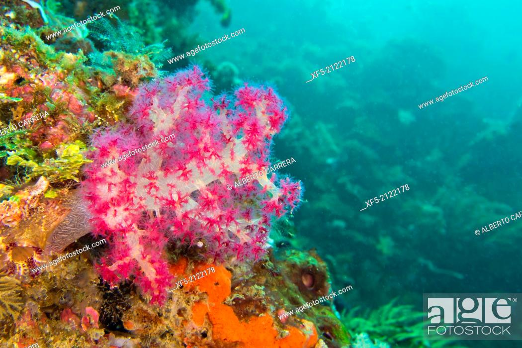 Stock Photo: Multi-branched trees, Soft Coral, Lembeh, North Sulawesi, Indonesia, Asia.