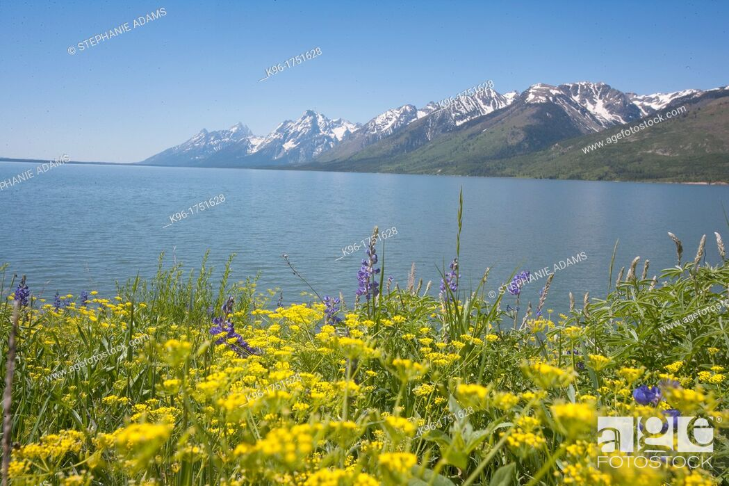 Imagen: yellow wild flowers and the Grand Tetons.