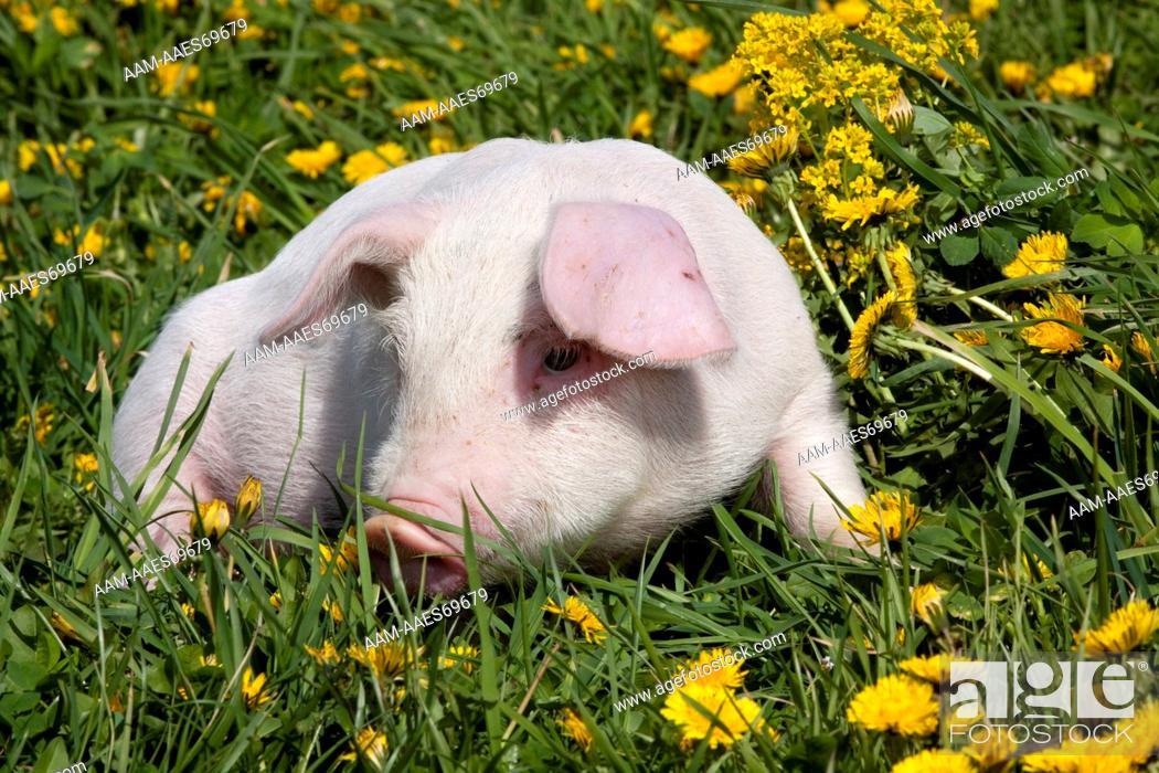Stock Photo: White piglet in dandelions; Dekalb, Illinois, USA.