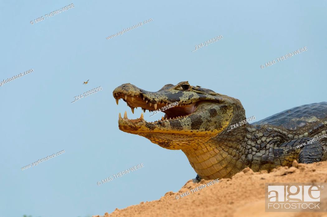 Imagen: Yacare caiman (Caiman yacare) on a sandbank, Cuiaba river, Pantanal, Brazil.