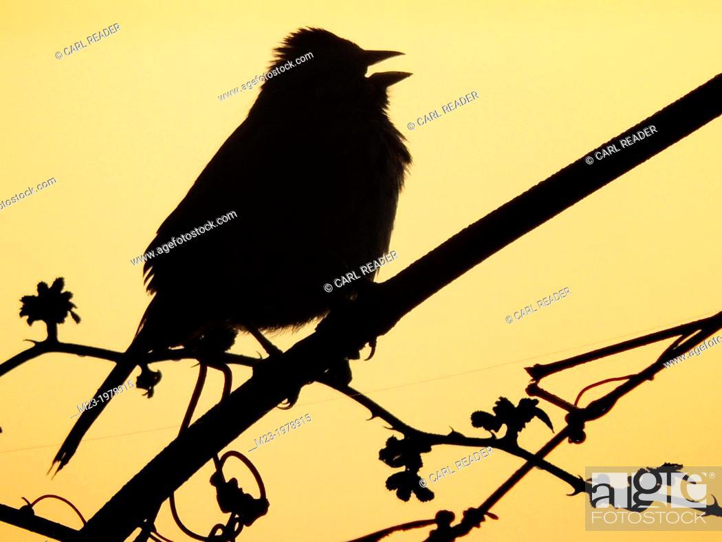 Imagen: A songbird sings in silhouette against the dawn sky, Pennsylvania, USA.