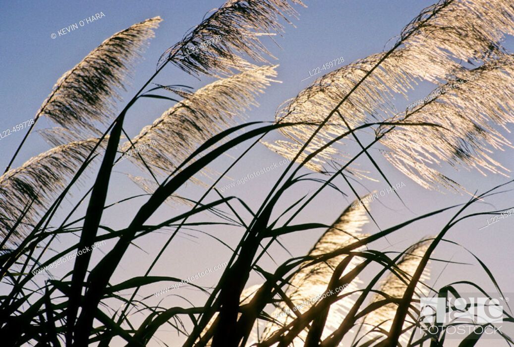 Stock Photo: Sugar cane plantation. Saint Andre area. Reunion Island. Indian ocean. France.