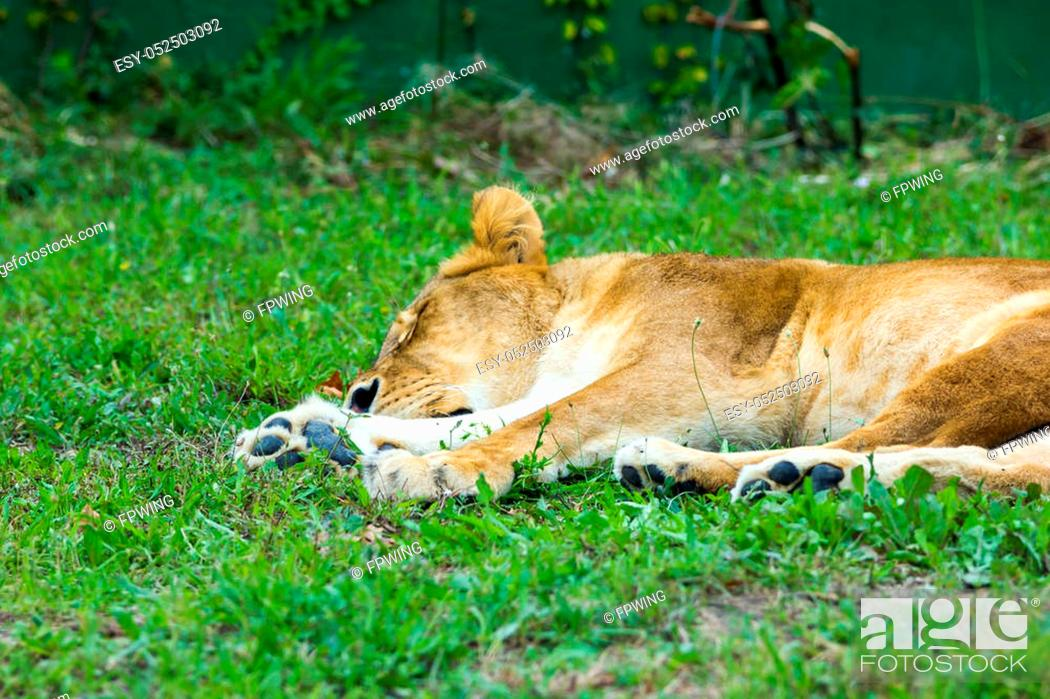 Stock Photo: Lion.