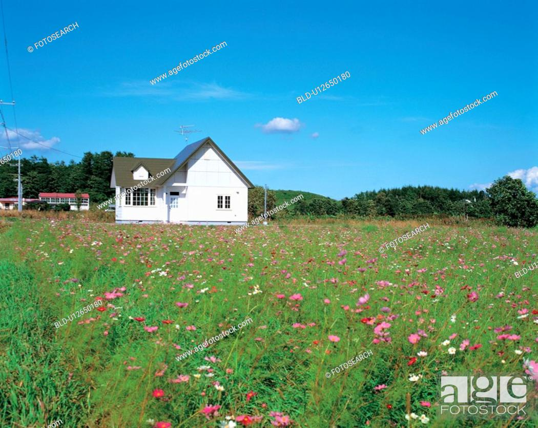 Stock Photo: autumn, scenery, cosmos, field, landscape, house, nature.