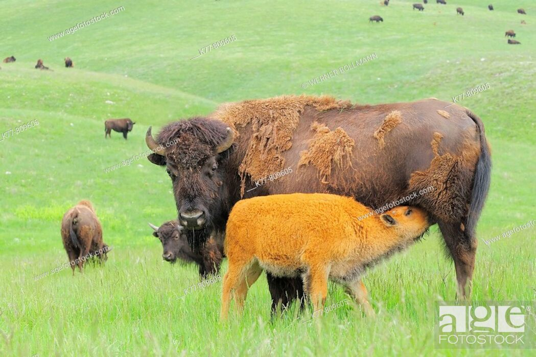 bison calf behaviors and their interactions with mother bison essay A father and son spotted a bison calf lying in humans repeatedly compare the behavior of animals with their own behavior it's the ugly truth of accidental.