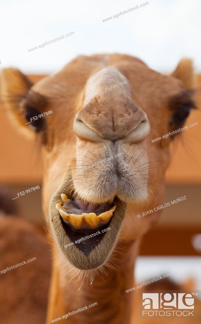 Stock Photo: Camel market. Al Ain. Emirate of Abu Dhabi. EAU. Persian Gulf. Arabia.