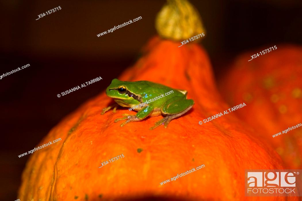 Imagen: European tree frog, Hyla arborea, of top of pumpkin, Cucurbita .