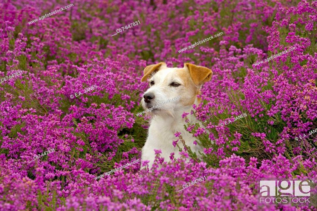 Stock Photo: Jack Russell Terrier in Heather.