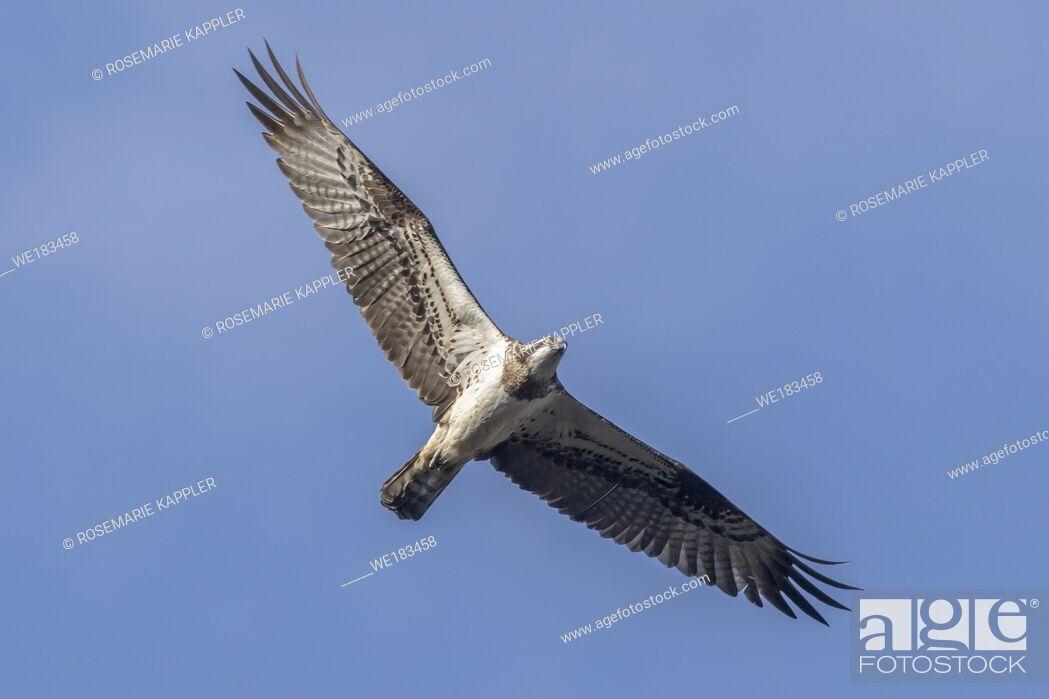 Stock Photo: An Osprey in flight over Forellenhof Trauntal.